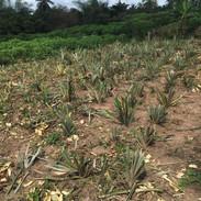 Pineapple seedlings