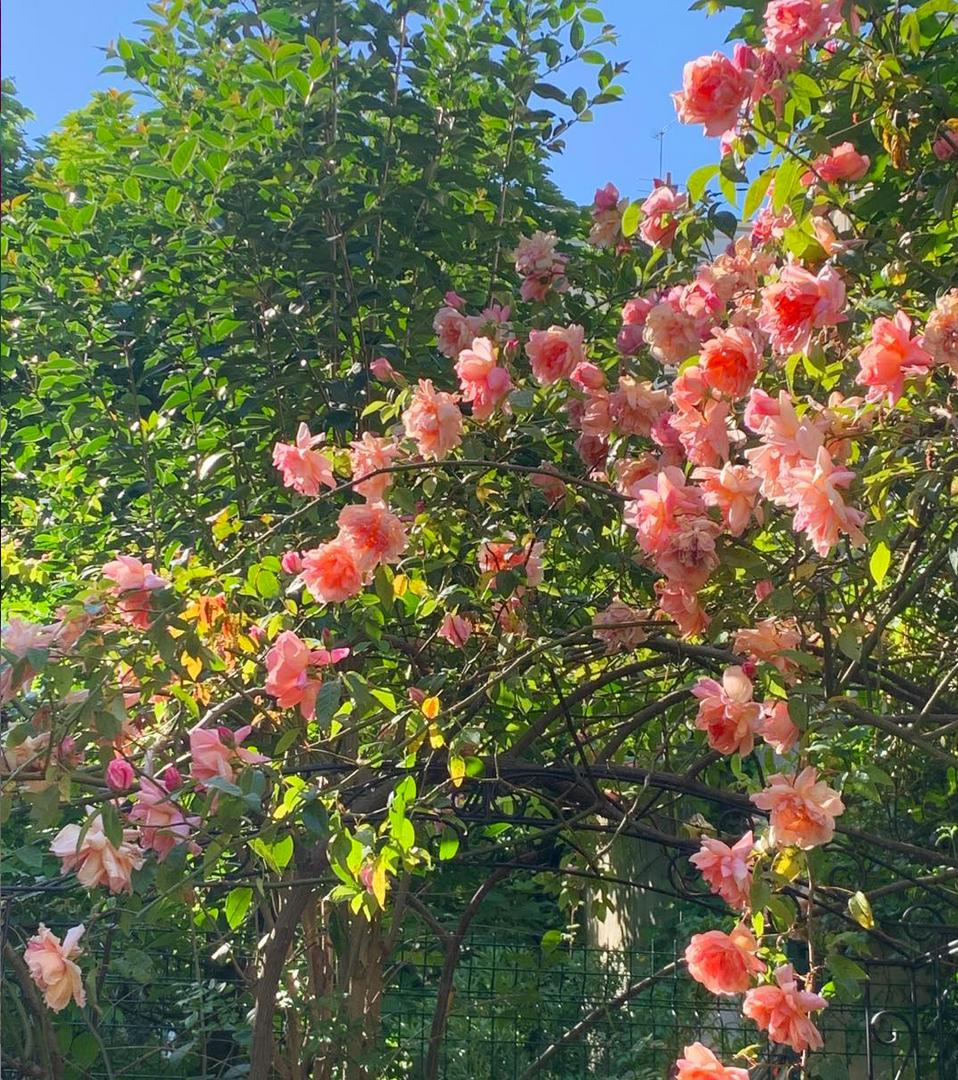Les rosiers du jardin