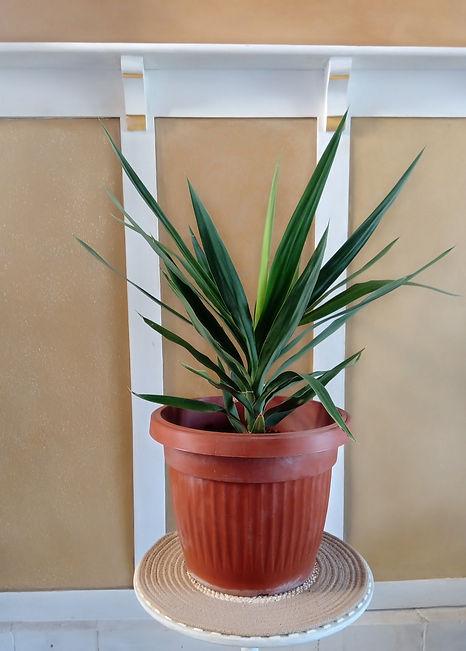 Yucca punta .jpg