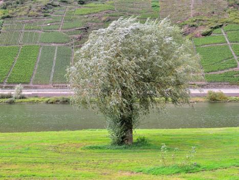 boom aan de Moezel