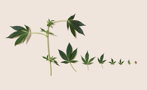 CANNABIS SCIENCE CHART (with stalk)