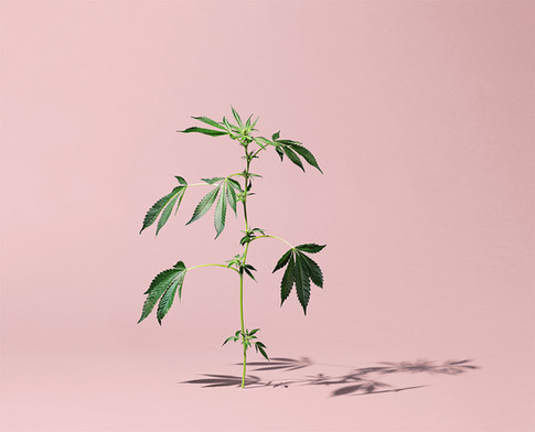 STANDING CANNABIS PLANT WITH SHADOW