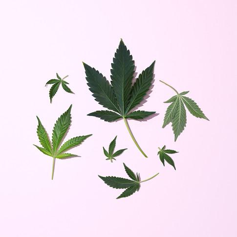 WEED LEAVES ON PINK
