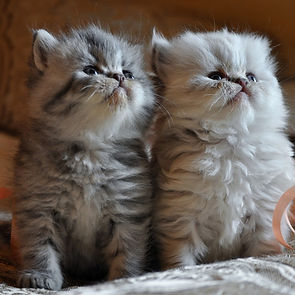 Pricing and shipping your Persian or Exotic Shorthair
