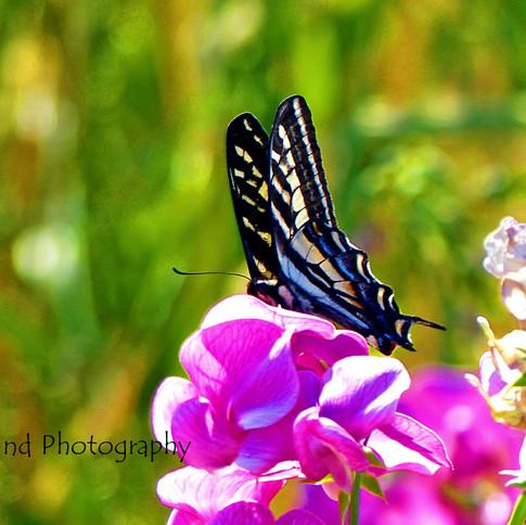 Butterfly on Sweet Peas
