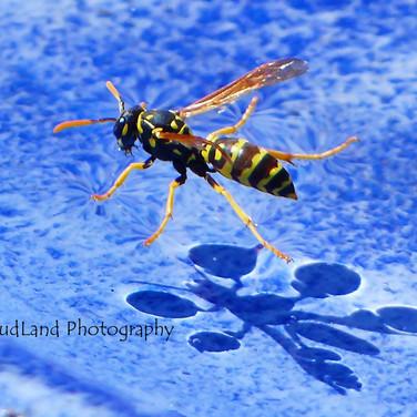 Wasp in a Birdbath