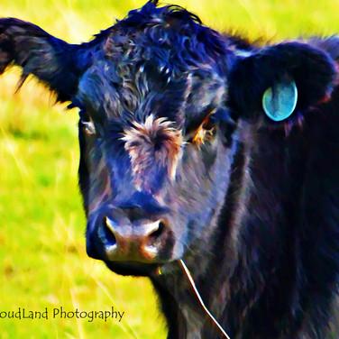 Photo in Oil: Black Cow