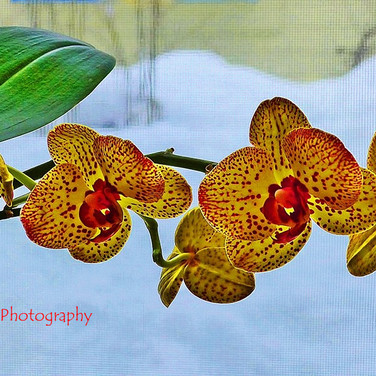 Orchids in a Winter Window
