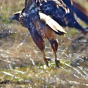 Photo in Oil: Hawk in Flight