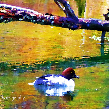 Photo in Oil: Duck on Beaver Pond
