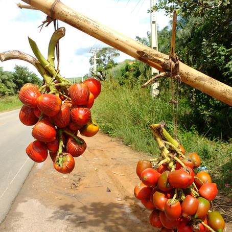 Pupunha - o fruto e o Tacacá do Norte