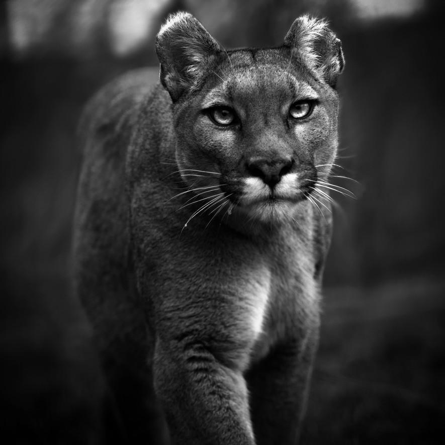 Puma Prince by Daniel Swan Smaller.jpg