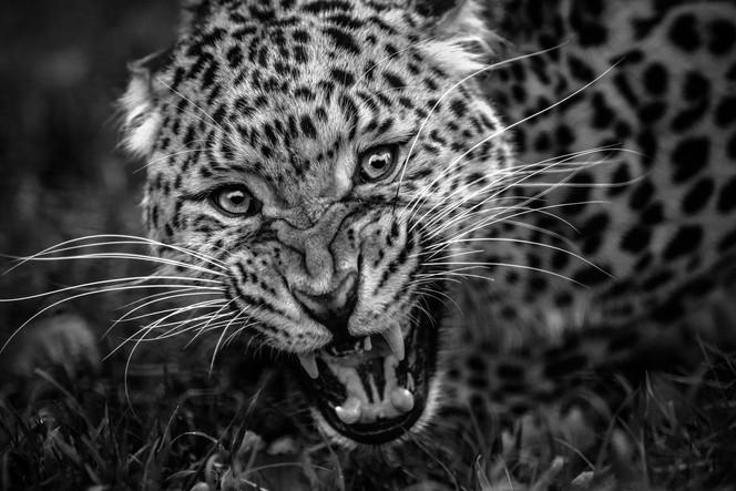 Go Away Leopard Web.jpg