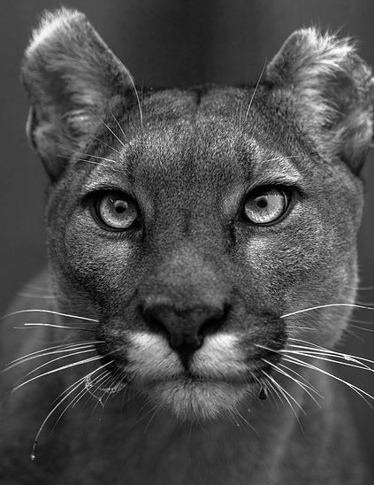 Daniel Swan Puma Portrait Photograph Web