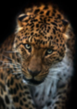 Beautiful Leopard Portrait Web.jpg