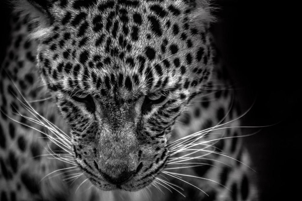 Leopard Looks Down Web.jpg