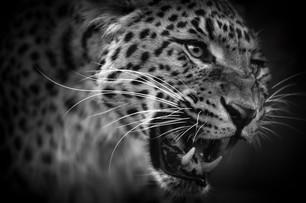 Love Roars Leopard Web.jpg