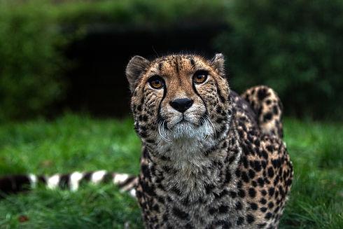 Cheetah God Beauty Colour.jpg