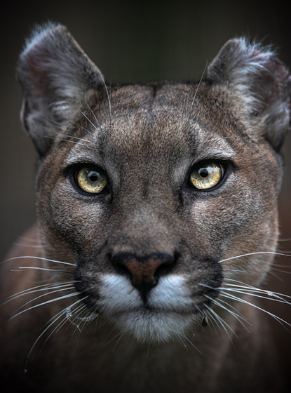 Puma Portrait Web.jpg