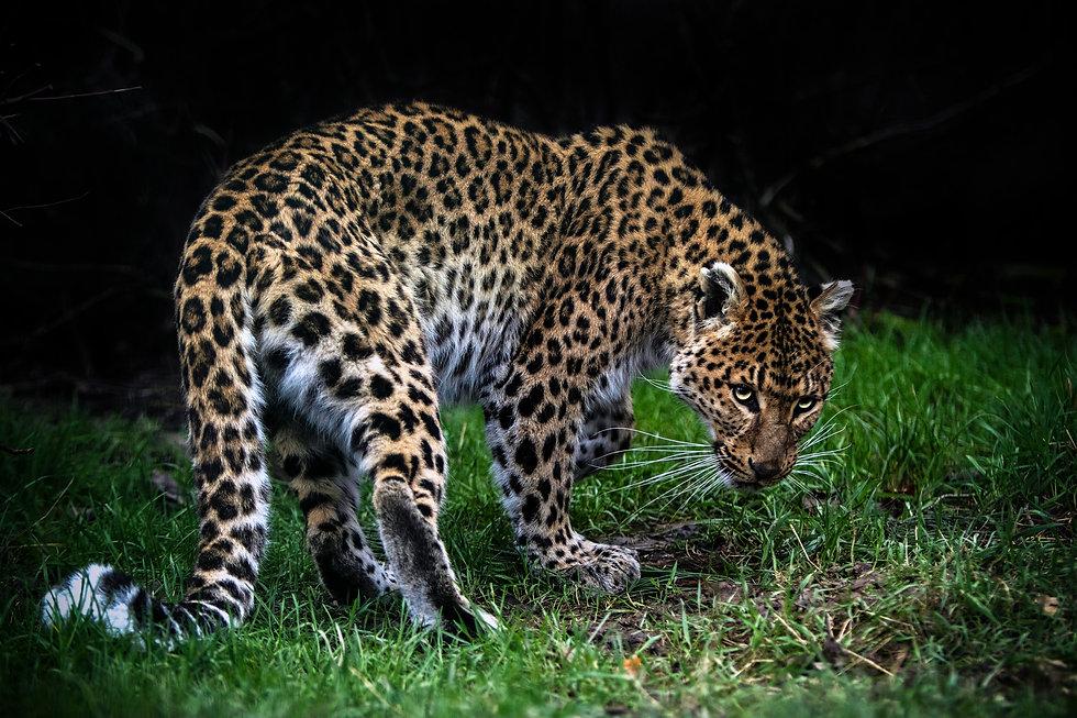 Amur Leopard Love Web.jpg