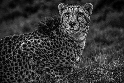 Cheetah Hope 2 Smaller.jpg