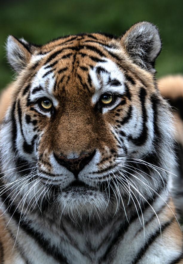 Perfect Eyes Tiger.jpg