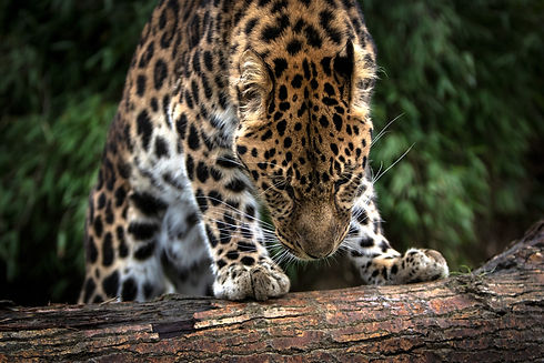 Beautiful Leopard Stands On Logged Tree.