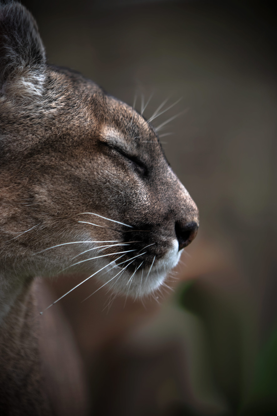 Cougar Peace Small.jpg