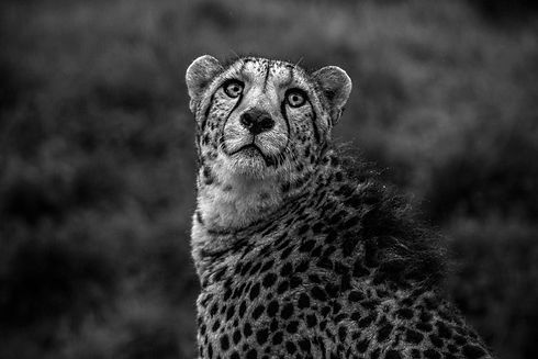 Cheetah Fine Art Photography Daniel K Sw