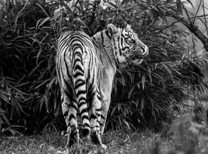 Tiger Jungle.jpg