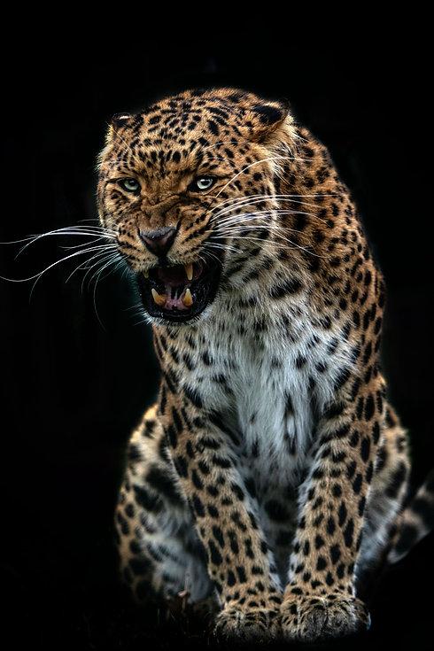 Snarling Leopard Web.jpg