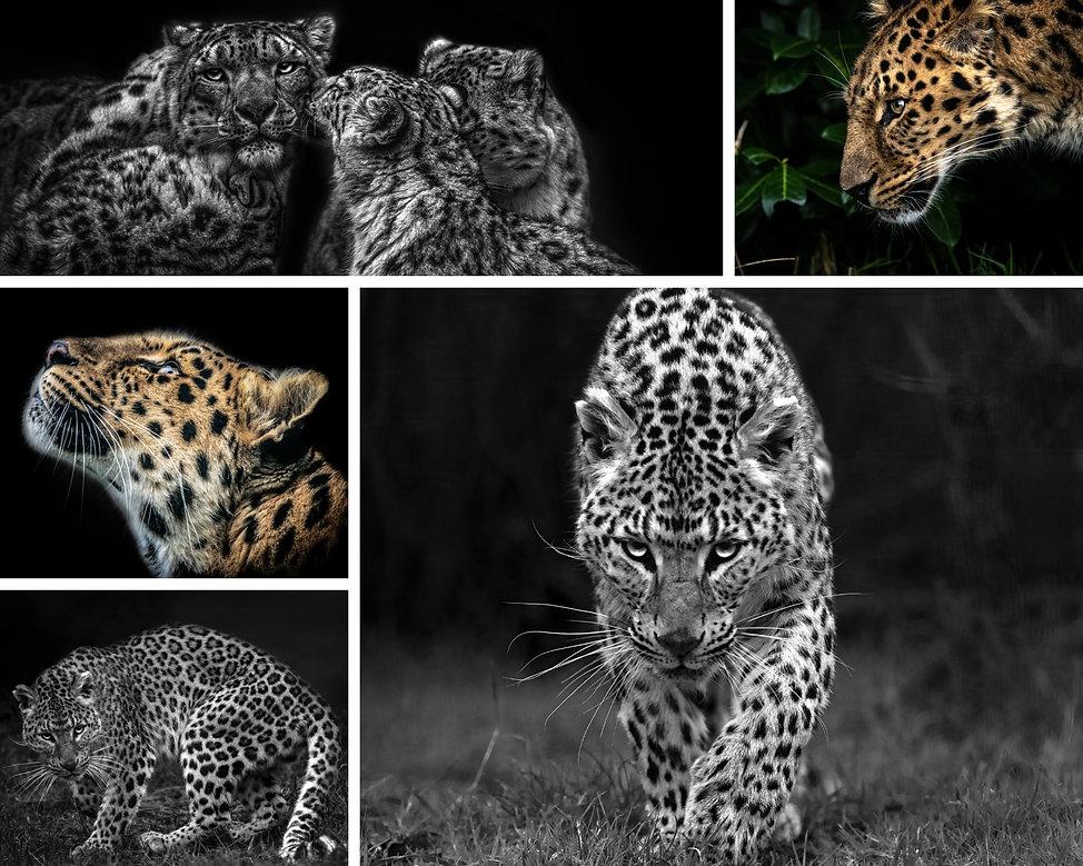 Beautiful Leopard Photograph Fine Art Da
