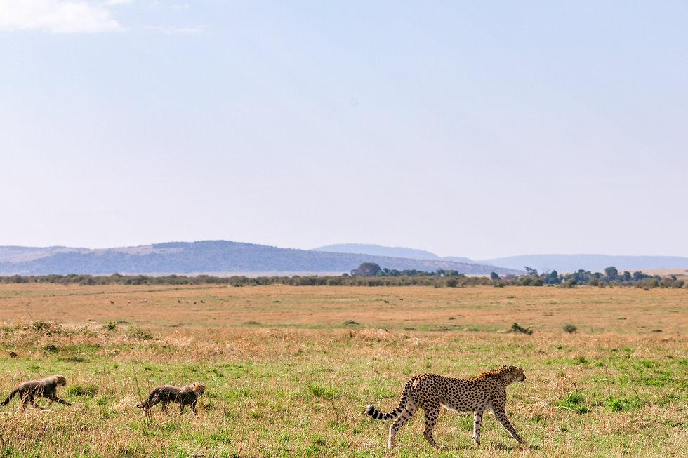 beautiful cheetah and babies grasslands.