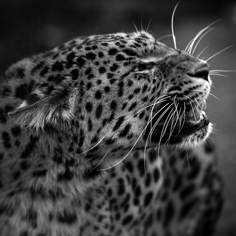 Leopard Testing Web.jpg