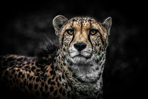 Cheetah's Eyes High Definition Half size