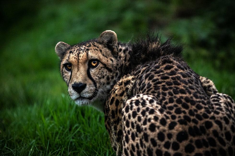 Behind Cheetah.jpg