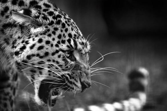 Beautiful Leopard Roaring Defensively.jp