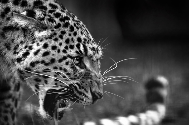 Beautiful Leopard Roaring Defensively.jp