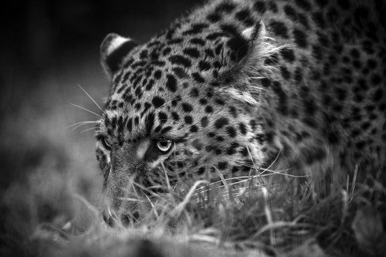 Focus Black and White Leopard.jpg
