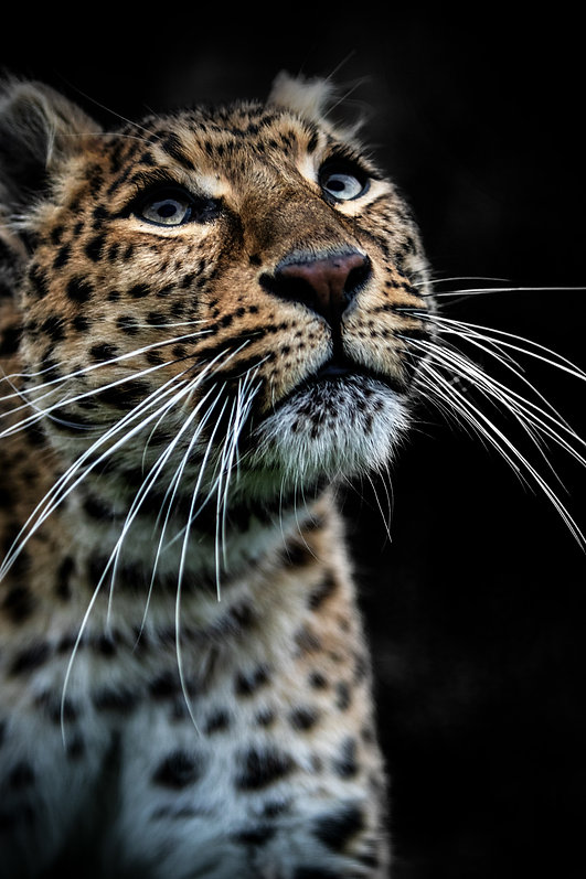 Beautiful Leopard Portrait by Daniel Swan