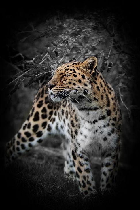 Golden Leopard.jpg