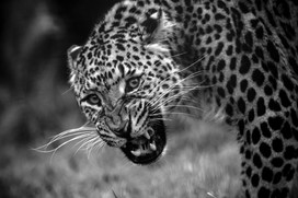 Leopard's Welcome BW.jpg