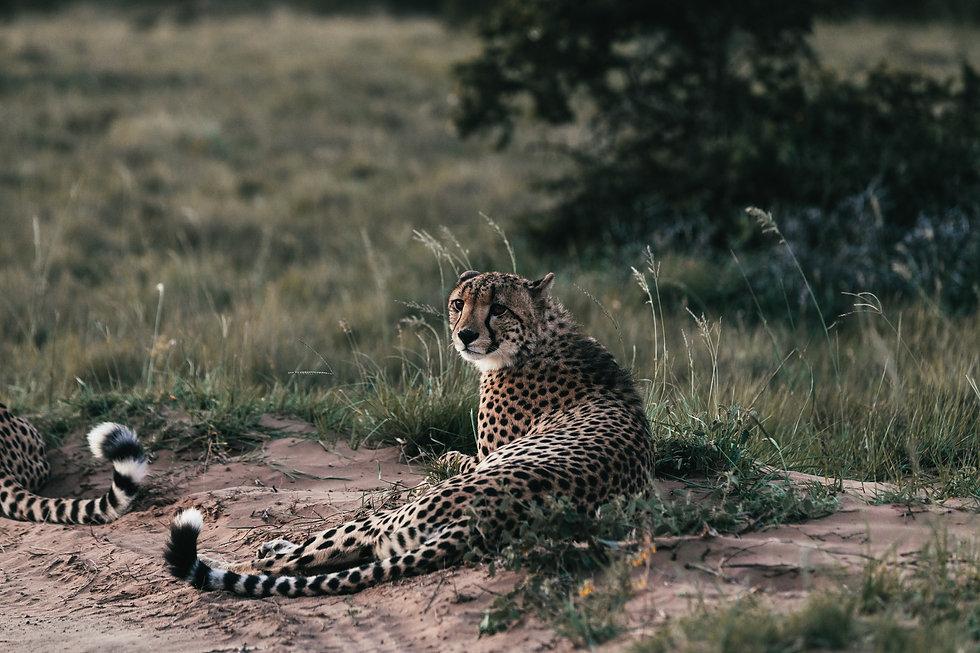 Cheetah Grasslannds.jpg