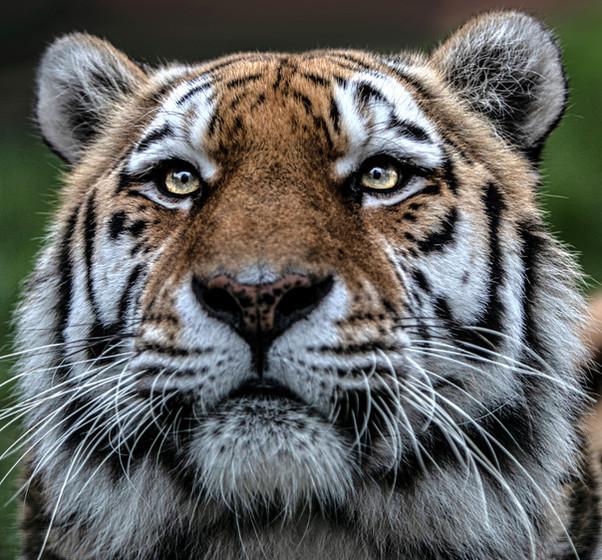 Daniel Swan Tiger Photography Portrait B
