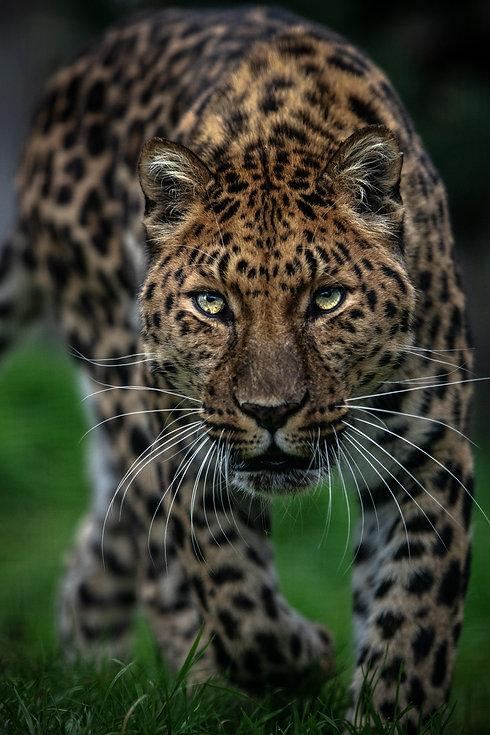 Leopard Study Web.jpg