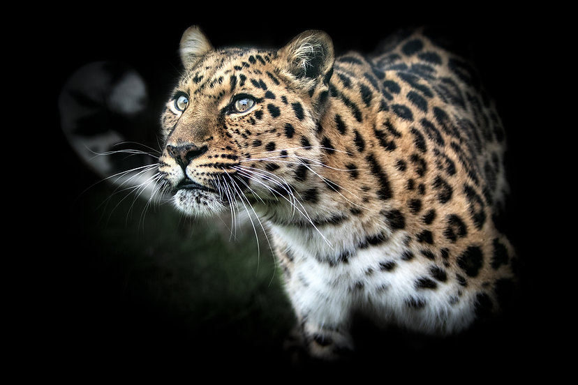 Leopard Looking Up Light Smaller.jpg