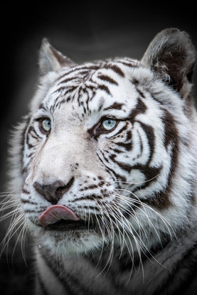 White Tiger Portrait Small.jpg