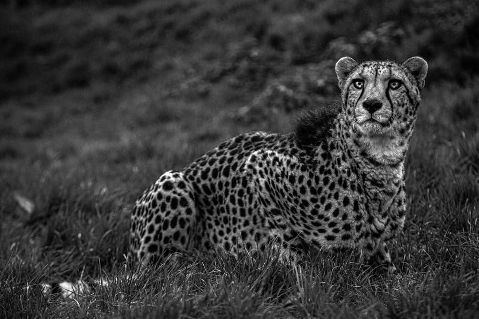 Cheetah7.2.jpg