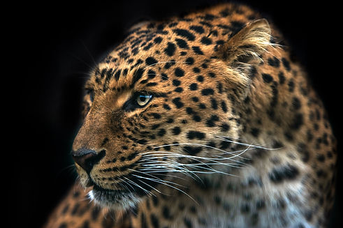 Beautiful Leopard of Peace by Daniel.jpg