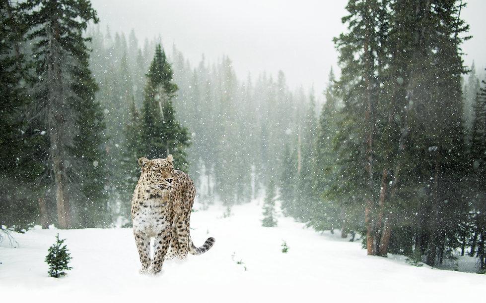 Land of Leopard national Park Amur Leopa